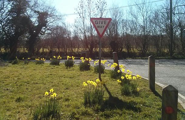 Daffodils in Surrey